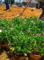آماده سازی میدان بهارستان برای کاشت گل های فصلی
